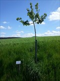 Image for Dedicated Trees-Appletree 'Schöner von Herrnhut' - 96352 Effelter/Germany/BY