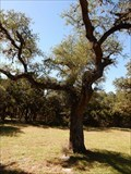 Image for Kyle Hanging Tree - Kyle, TX