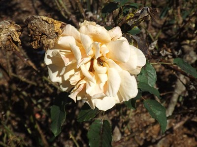 Close up of one of the many roses that commemorate a loved one. With a bee enjoying it. Friday, 13 May, 2016