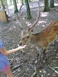 Image for Feeding the Deers - Wildparadies Tripsdrill - Cleebronn, Germany, BW