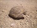 Image for Tortoise Crossing in the Mojave Desert