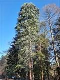 Image for Mammutbäume im Forstbotanischen Garten - Köln, NRW, Germany