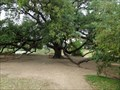 Image for Tree of the Year 2008 - Austin, TX