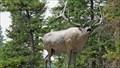 Image for Wapiti - Osoyoos, British Columbia