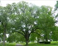 Image for American Elm (Ulmus americana) - Bellefontaine Cemetery - St. Louis, Mo.