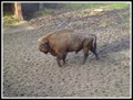 Image for Demonstration Farm Bison Pszczyna - Pszczyna, Poland
