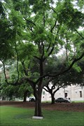 Image for Mount Vernon Black Walnut Tree -- Mississippi State Capitol, Jackson MS