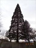 Image for Riesenmammutbaum in Weingarten