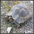 Image for Tortoises in Bilkent and METU campuses - Ankara, Turkey
