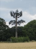 Image for Pine Tree - Haynes West End, Bedfordshire, UK