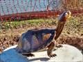 Image for Box Turtle - Waco, TX