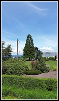Image for Sequoiadendron giganteum at Van Belle Nurseries — Abbotsford, BC