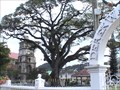 Image for Oldest - Tree in Saint Lucia - Castries, Saint Lucia