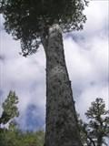 Image for Hinehopu's Tree. Rotorua District. New Zealand.