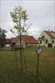 Image for Pametni lipa sv. Anezky Premyslovny - Uhercice, Czech Republic