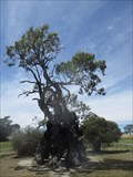 Image for Herbig Family Tree, Springton, SA, Australia