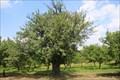 Image for Pamatny strom (Jerab Oskeruse) - Nemcicky, Czech Republic