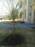 Image for Cherry Trees - University of Arkansas - Fayetteville AR