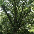 Image for Quercus Macrocarpa (Bur Oak) - Collenbrook Farm - Drexel Hill, PA