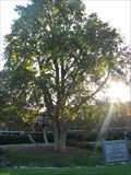 Image for Largest -- Ohio Buckeye Tree In The US - Oak Brook, IL