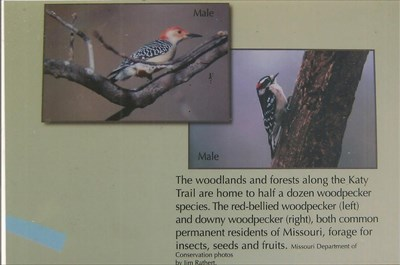 The woodlands and forests along the Katy Tril are home to half a dozen woodpecker species. The re-bellied woodpecker (left) and the downy woodpecker (right), both common permanent residents of Missouri, forage for insects, seeds and fruits.