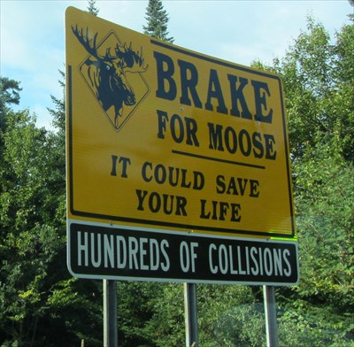 hundreds of moose collisions new hampshire uncommon crossing