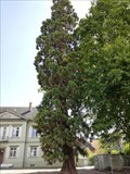 Image for Mammutbaum Pfalzgarten Konstanz, Germany, BW
