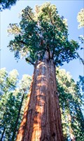 Image for General Sherman: World's Largest (not Tallest) Tree - Sequoia N.P., California, USA