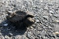 Image for Baby Snapping Turtle - Reston, Virginia