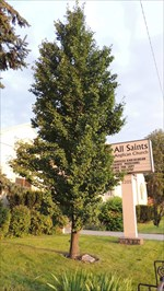 Lishman Tree
