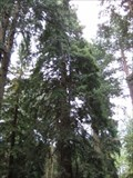 Image for Coast Redwood - Tall Trees Trail, Rhinefield, New Forest, South Hampshire
