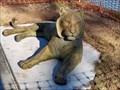 Image for Sumatran Tiger - Waco, TX