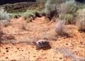 Image for Utah Desert Tortoise Crossing, Snow Canyon, Utah USA
