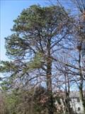 Image for Arlington Co 2006 Champion Pitch Pine