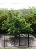 Image for OLDEST -  Cultivated Tree in America - Danvers, MA