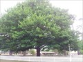 Image for Henry Parkes Federation Tree, Berrima, NSW