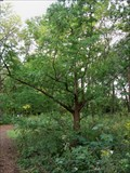Image for Dawn Redwood - Morton Arboretum; Lisle, IL