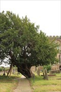 Image for Yew Tree - St May's Church - Astbury, Cheshire, UK.