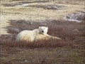 Image for Polar Bear Safari, Churchill, MB