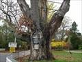 Image for Caumsett State Park Oldest Black Oak Tree