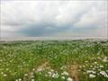 Image for Field of Opium poppy - Polabi, Czech Republic