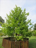 Image for Pope's Oak no 462 - Busko-Zdrój, Poland