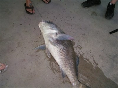 In about two hour time frame, I watched on angler land 4 black drum.  They weren