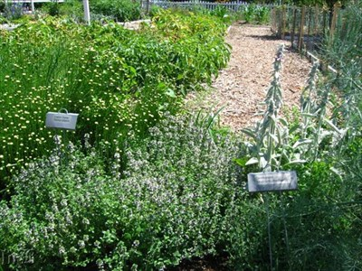 Some English thyme and germander