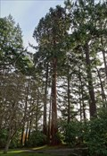 Image for Sequoiadendron giganteum - Victoria, British Columbia, Canada