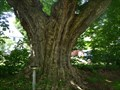 Image for N.Y. State's largest Sugar Maple - Ontario, New York