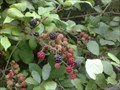 Image for Blackberries - Stevington Country Walk, Bedfordshire, UK