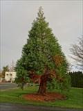 Image for Sequoiadendron giganteum - Esquimalt, British Columbia, Canada
