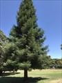 Image for Sequoia Sempervirens - Sacramento, CA