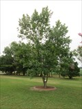 Image for Dwight D. Eisenhower Green Ash Tree - Virginia Beach, VA